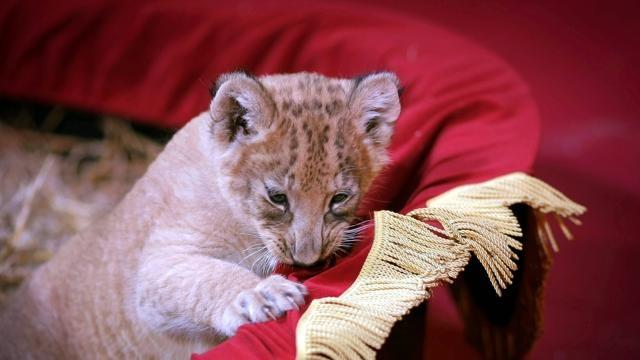 La cucciolata di leoni bianchi del circo Krone