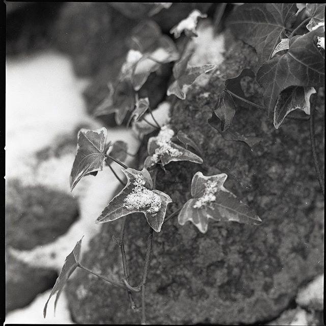 Work of my student with my little help. Taken with Hasselblad on Fomapan 100. Developed in Fomadol LQN. Práce mého kolegy @charlie_the_photograper během workshopu s mou menší asistencí. Foceno na film #Foma 100 středoformátovým Hasselbladem. #hasselblad #extensiontube #fomapan #fomadol #analogfotograf #trebic #ivy #stone #stillife #garden #snow #wood #nocrop