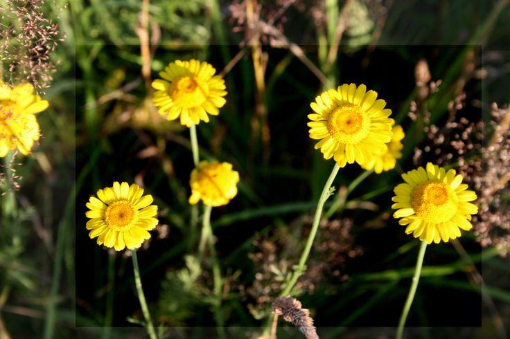 Gemeines Rindsauge - Buphthalmum salicifolium