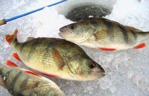 Рыбалка видео: Ловля окуня в феврале