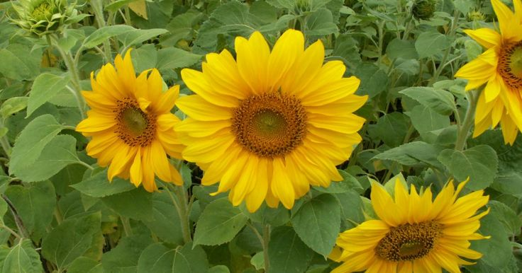 Nicht nur als Nutzpflanze, sondern auch als Zierpflanze ist die Sonnenblume von großer Bedeutung. Ihre Blüten erinnern nicht nur an eine große Sonne, sondern wenden sich auch immer der Sonne zu. Dieses sollte man bei der Wahl des Standortes beachten, damit die Blüten in den Garten oder zum Sitzplatz gucken und sich nicht abwenden.