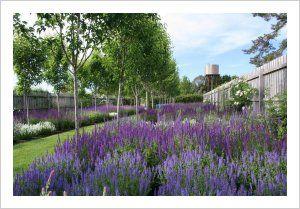Buying Frost tolerant Salvias | Lambley Nursery