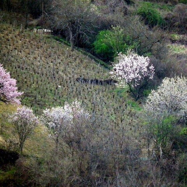 (c) Sikolya Tibor #spring #Tokaj #TokajHegyalja #tokajwineregion #visittokaj #vineyard