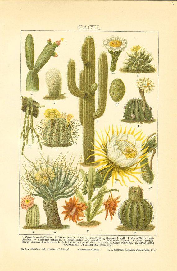 1906 Breeds Of Cacti Original Antique Colour Print. Ideal For Framing