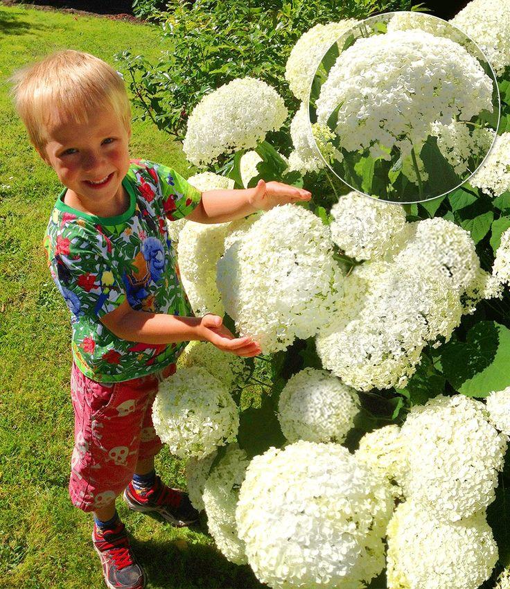 1000 ideen zu hortensia annabelle auf pinterest tuin. Black Bedroom Furniture Sets. Home Design Ideas