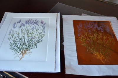 History of lavender 5 Adam Poltorak copperplate