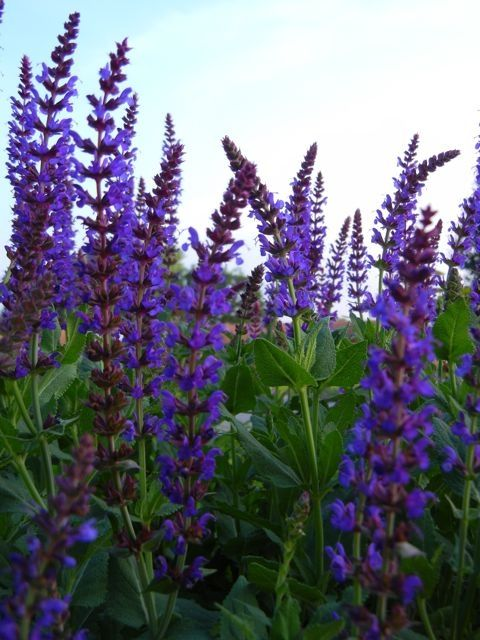 17 best images about salvia on pinterest drought for Hearty ornamental grasses