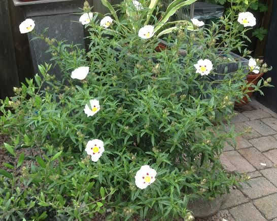 Rockrose, Cistus 'Jenkyn Place' evergreen, soft texture rounded low shrub, white summer flowers  Full sun, drought tolerant, 3ft rounded shape. (Thicket)