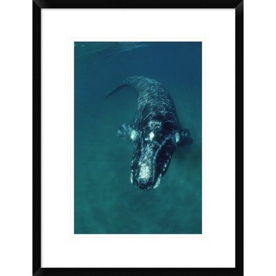 Global Gallery 'Southern Right Whale Swimming Underwater, Peninsula Valdez, Argentina' Framed Photographic Print Size: