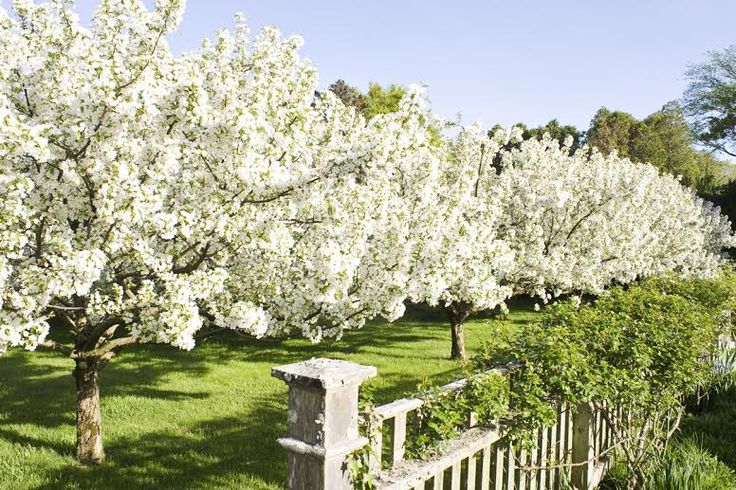 Almost time for my Snowdrift crabapple trees to bloom!