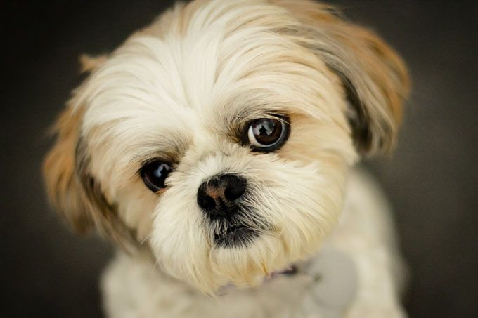 Shih Tzu information including pictures, training, behavior, and care of Shih Tzus and dog breed mixes.