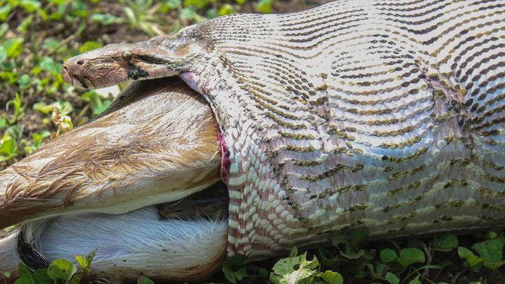 Giant anaconda swallows adult antelope