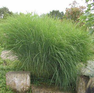34. Miscanthus sinensis Graziella (japanskt gräs)