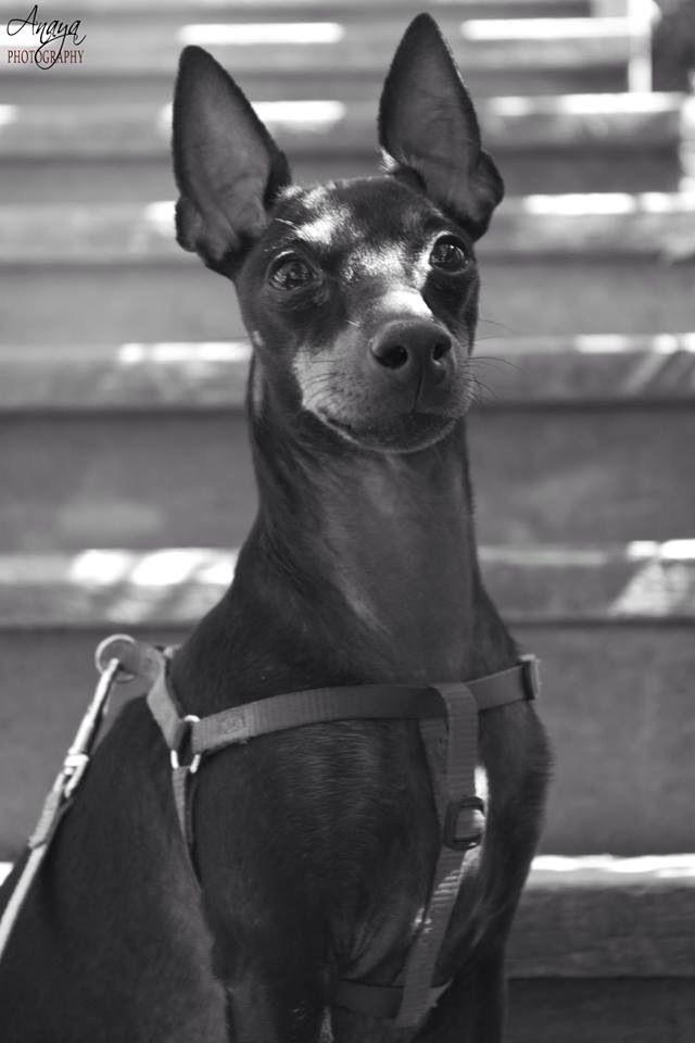 Youkie #EnglishToyTerrier #Dog #Miniature #AnayaPhotography