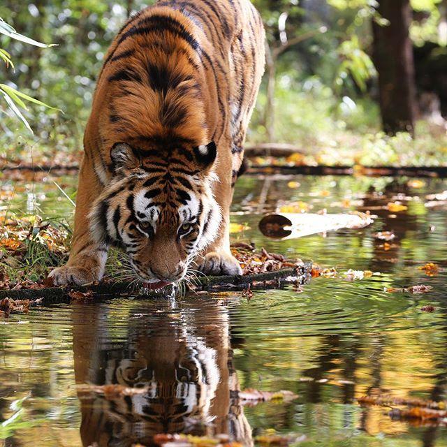 fuji_safari 秋色に染まった水面。息をのむ美しさです。 The breathtaking beauty of Autumn reflected in a pond. #富士サファリパーク #トラ #アムールトラ #紅葉と動物 #息をのむ美しさ #動物 #fujisafaripark #tiger #amurtiger #siberiantiger #breathtakingbeauty #autumnreflected  #autumnleaves #animal #wildlife 富士サファリパーク 2017/11/07 23:13:37