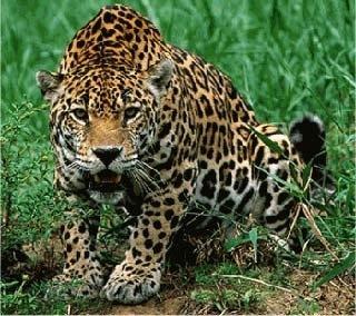 Jaguar - animal en peligro de extinción en México y el mundo.