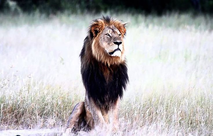 Zimbabwe's Most Famous Lion Is Now a Hunting Trophy. An American hunter killed Cecil the lion when he was enticed to leave the Hwange National Park border. | TakePart