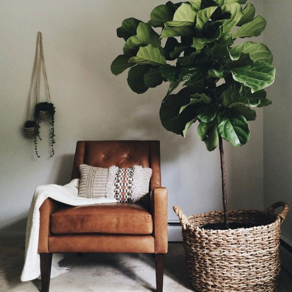 Fiddle leaf fig plant for indoors such as this living room corner