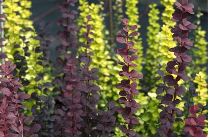 Japanese barberry 'Helmond Pillar'