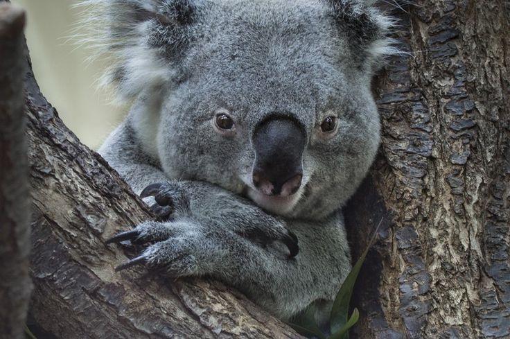 Koala – Tiergarten Schönbrunn