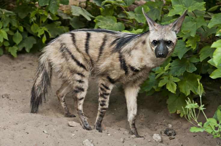 """The Aardwolf, whose name means """"earth wolf,"""" lives in Africa. They are related to hyenas but do not hunt large animals, instead eat insects — mostly termites."""