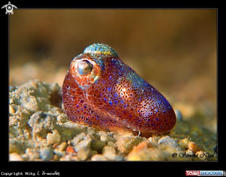 Cuttlefish in Croatia