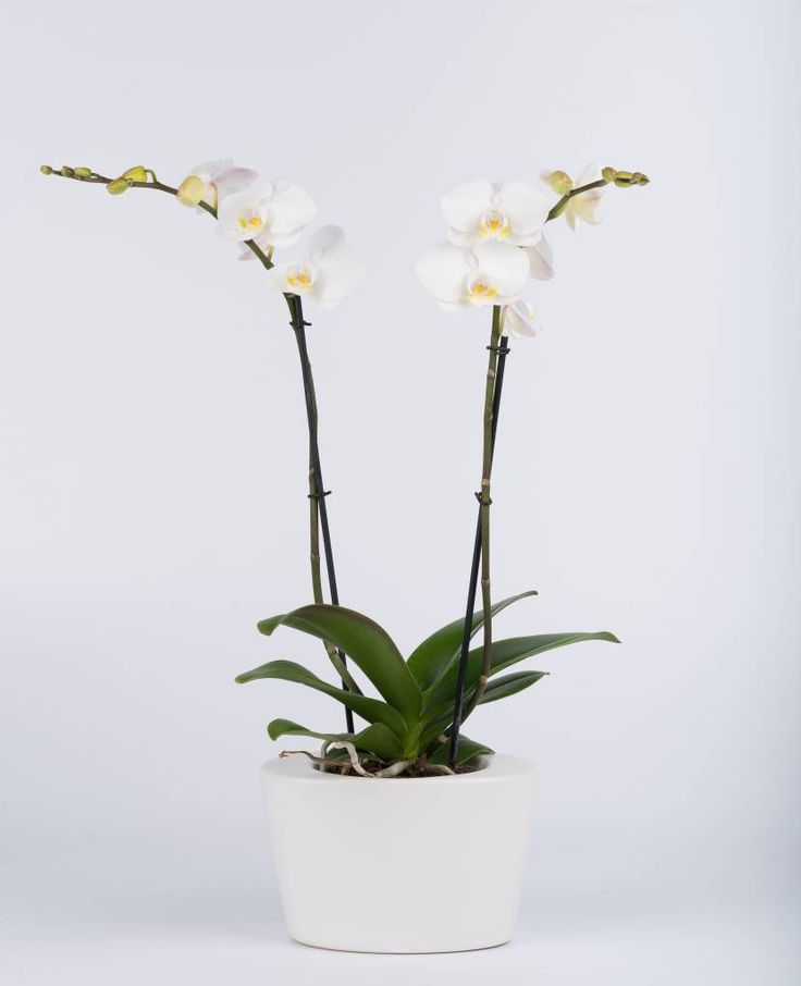 Vlinderorchidee White in pot
