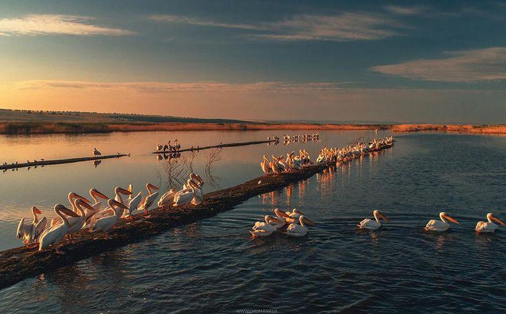 Фото дня: Тусовка пеликанов на юге Молдовы - Locals