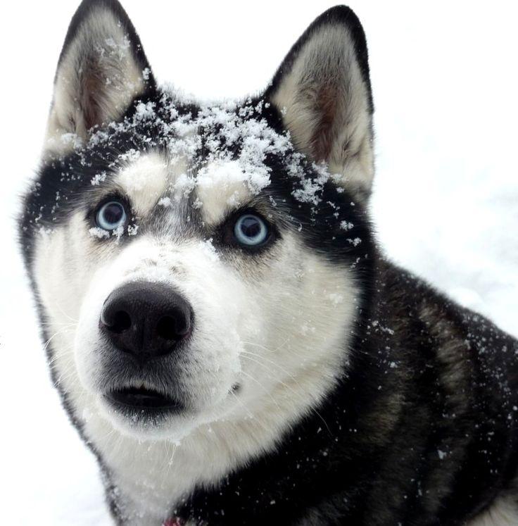 Sibirien Husky Aki Aki wünscht euch einen schönen 4. Advent! Hundename: Aki / Rasse: Sibirien Husky      Mehr Fotos: https://magazin.dogs-2-love.com/foto/sibirien-husky-aki-3/ Foto, Hund, Winter