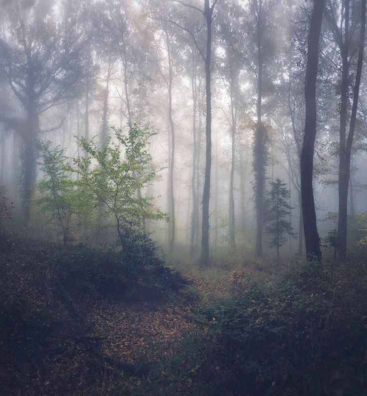 Foggy fores - Foggy forest in Grosetto. Tuscany, Italy