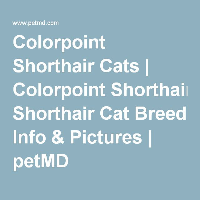 Colorpoint Shorthair Cats | Colorpoint Shorthair Cat Breed Info & Pictures | petMD