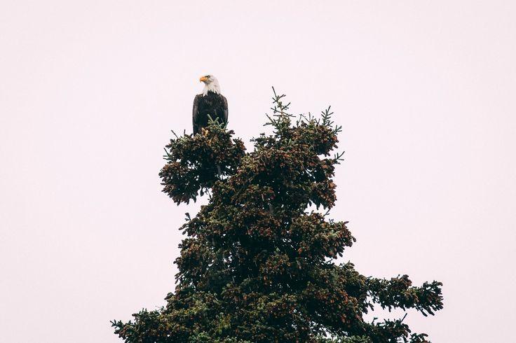 Bald Eagle, Alaska. Photo by Kirstin Scholtz