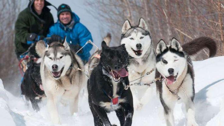 Avez-vous déjà essayé de diriger des chiens de traîneaux? Une expérience sportive qui ne manquera pa... - Photo Kanatha Aki (kanatha-aki.com)