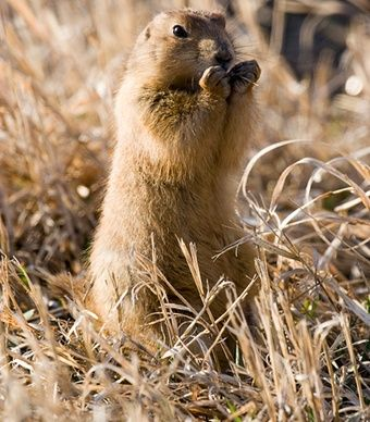 "The highly social prairie dog, found in Badlands National Park, South Dakota, lives in underground colonies, or ""towns,"" that can include as many as 26 family members. (From: Best Spots to See Wildlife in the U.S.)"