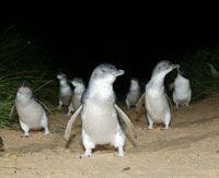 Penguin Parade with Penguins Plus - Gray Line Day Tour 384