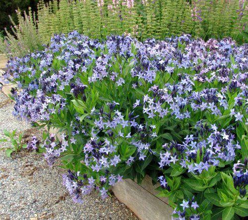 Amsonia Blue Ice Bluestar from North Creek Nurseries