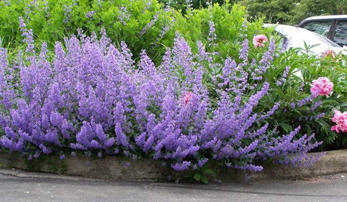 Kocimiętka Faassena (Nepeta faassenii) kwitnie od maja do października Barwa kwiatów jest niebieskofioletowa. Cała roślina (a w szczególności liście) wytwarza intensywny aromat. Jak wskazuje nazwa – kocimiętka przyciąga koty. Zdarza się jednak, że zwierzęta w ogóle nie reagują na jej zapach.