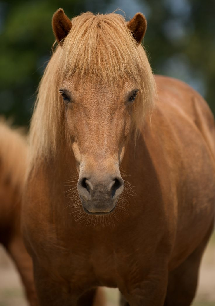Photographer Pernille Westh | Icelandic horse · Get my 7 FREE basic photography tips - you need to know! http://pw5383.wixsite.com/free-photo-tips