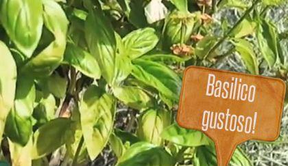 Come potare il basilico
