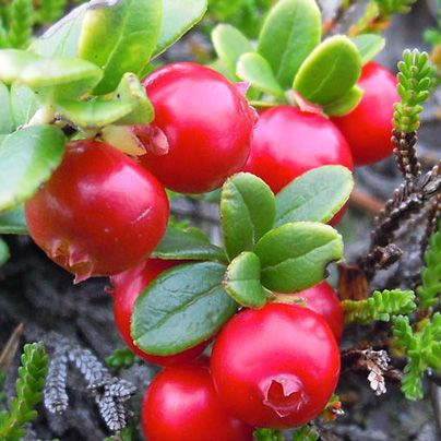 Lingonberries, as it turns out, help reduce incidence of fatty livers and stabilize blood sugar...another reason Swedes are clearly killin' it in the food department