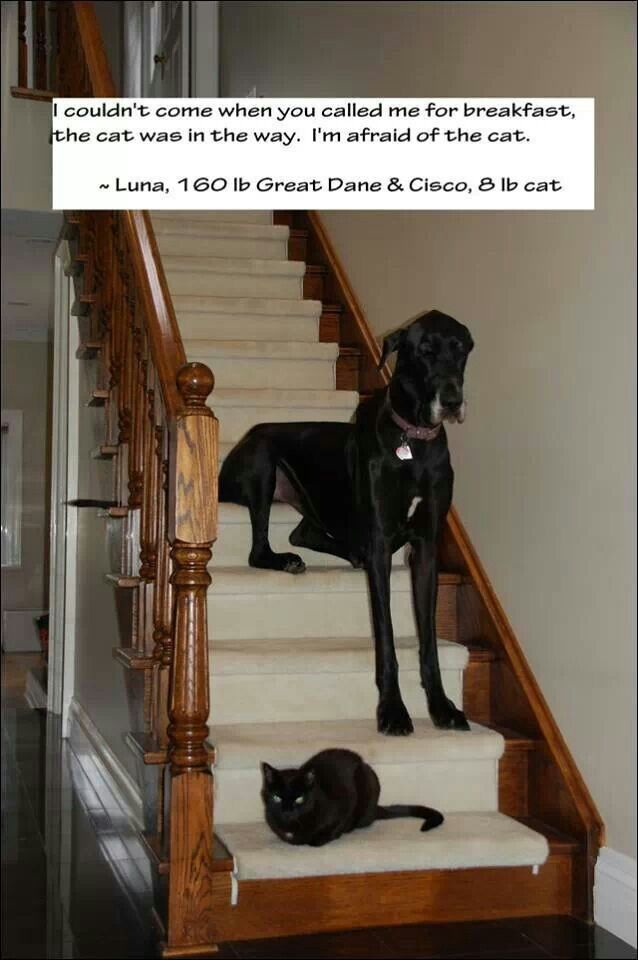 My Dane does this with the little dog in our house lol. It's too funny!