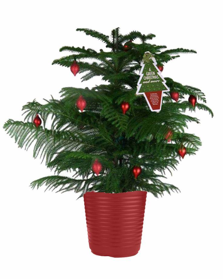 Norfolk island pine grow your christmas tree year round for Year round christmas tree
