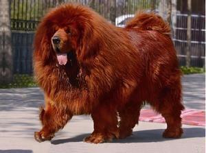 Perro Mastín Tibetano Rojo