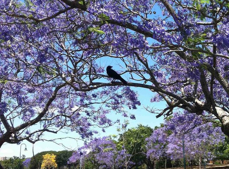 Fantastic black on lavender photo of a Torresian Crow! (Corvus orru orru) Photo by: Clare Murphy