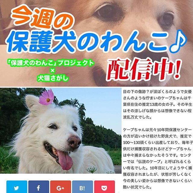 """🐕💫 「今週の保護犬のわんこ♪」Vol.2を公開しました❣️ 今回は @warabi.cape さんのお家のケープちゃんです🐶💕 . この企画は、里親さんへのインタビューを通して""""保護犬との暮らし""""を紹介する記事のWEB配信を行うもので、""""犬猫さがし(保護犬猫の保護施設・団体の検索サイト)""""さんとの共同プロジェクトです✨ プロジェクトのHP(このアドのプロフにURLがあります。www.bbtv.jp)にリンクを貼りましたので、そこから""""犬猫さがし""""さんの記事ページへ飛んで頂けます。 . 「犬を飼う第1選択肢を保護犬に❗️」を広めるために、里親になるまでの経緯やなった後の様子など、お聞きした内容を記事にして、里親を検討されている方に里親になるイメージが湧くようにしてきたいと考えています。 写真集の寄贈やかるたでは、子どもたちを対象にしていますが、本企画では一般を対象としています。 . この記事は「保護犬のわんこ」プロジェクトのHPでも配信予定(準備中)ですが、しばらくは""""犬猫さがし""""さんのHPのみで配信します。…"""