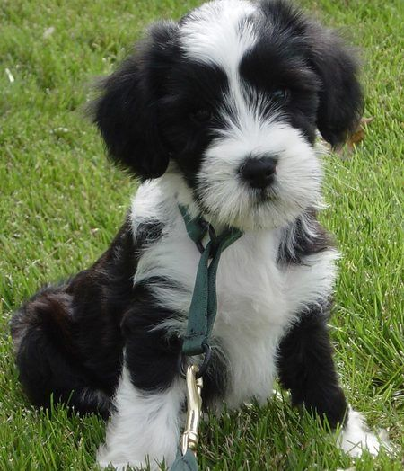 Tibetan Terriers: tell me about them please « Singletrack Forum