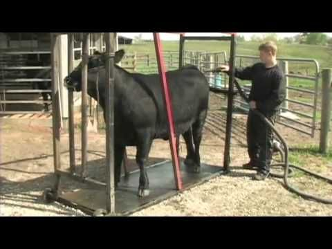 Awesome video on how to choose, groom, wash, fit, and halter break a beef animal. Great for beginning 4-Hers!!      (Part 1)