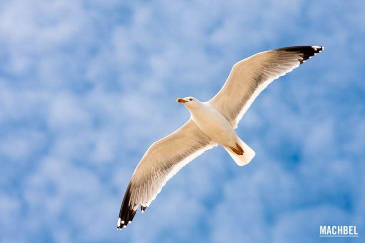 Gaviota volando Parque Nacional de las Islas Atlánticas de Galicia Islas Cíes