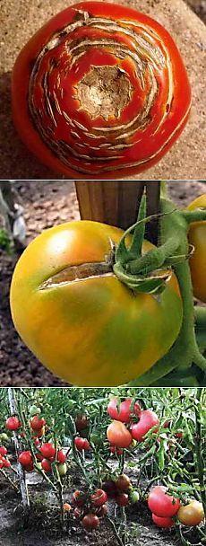 Причины образования трещин на томатах, как избежать растрескивания | Дача - впрок