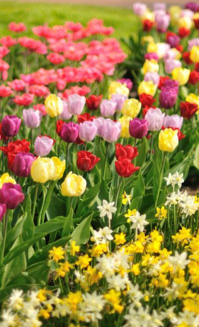 7 Best Images About Tulpen Uit Amsterdam On Pinterest